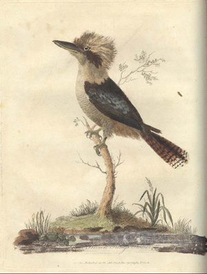 John White, Colour plate facing page 137 of 'Great Brown Kings Fisher', 1790